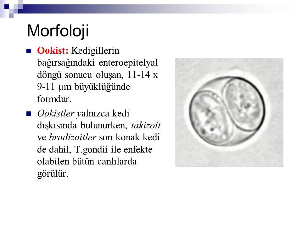 Morfoloji Ookist: Kedigillerin bağırsağındaki enteroepitelyal döngü sonucu oluşan, 11-14 x 9-11 µm büyüklüğünde formdur. Ookistler yalnızca kedi dışkı