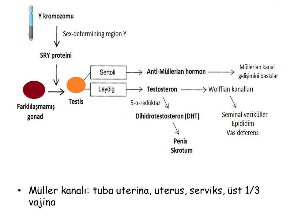 Müller kanalı: tuba uterina, uterus, serviks, üst 1/3 vajina