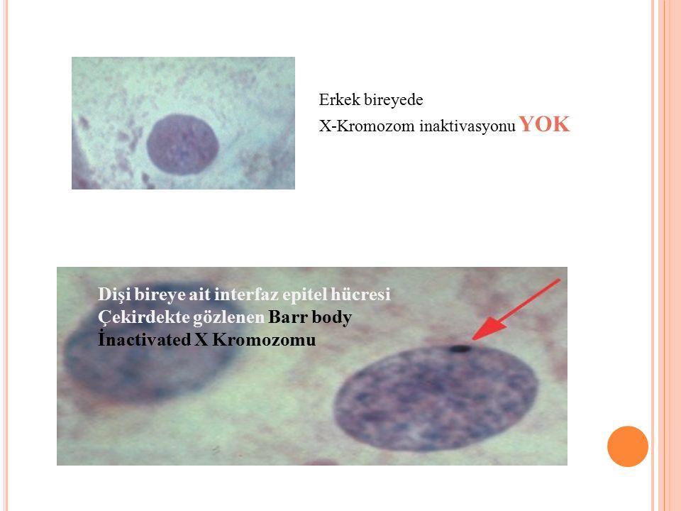 Dişi bireye ait interfaz epitel hücresi Çekirdekte gözlenen Barr body İnactivated X Kromozomu A Erkek bireyede X-Kromozom inaktivasyonu YOK