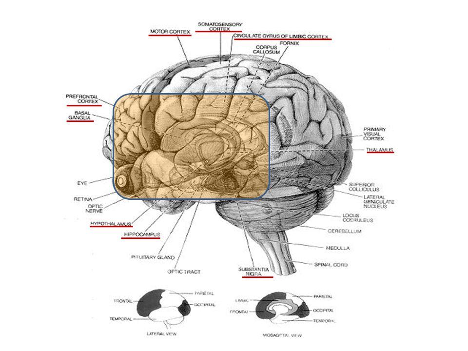 Haber, N.S. et.al. The journal of neuroscience, 2000. http://thebrain.mcgill.ca/