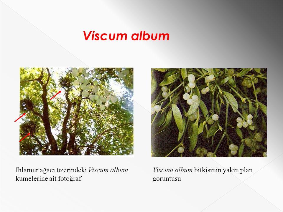 Ihlamur ağacı üzerindeki Viscum album kümelerine ait fotoğraf Viscum album bitkisinin yakın plan görüntüsü Viscum album