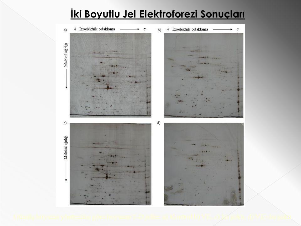 İki Boyutlu Jel Elektroforezi Sonuçları Gümüş boyama yöntemine göre boyanan 2-D jeller.