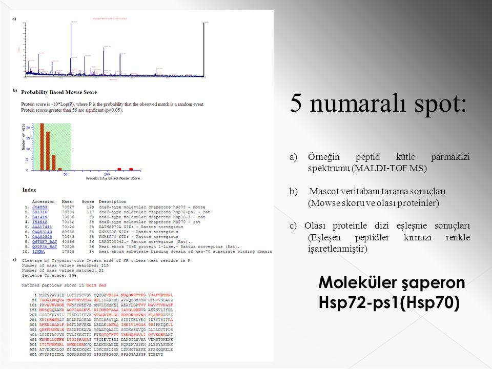 5 numaralı spot: a)Örneğin peptid kütle parmakizi spektrumu (MALDI-TOF MS) b) Mascot veritabanı tarama sonuçları (Mowse skoru ve olası proteinler) c) Olası proteinle dizi eşleşme sonuçları (Eşleşen peptidler kırmızı renkle işaretlenmiştir) Moleküler şaperon Hsp72-ps1(Hsp70)