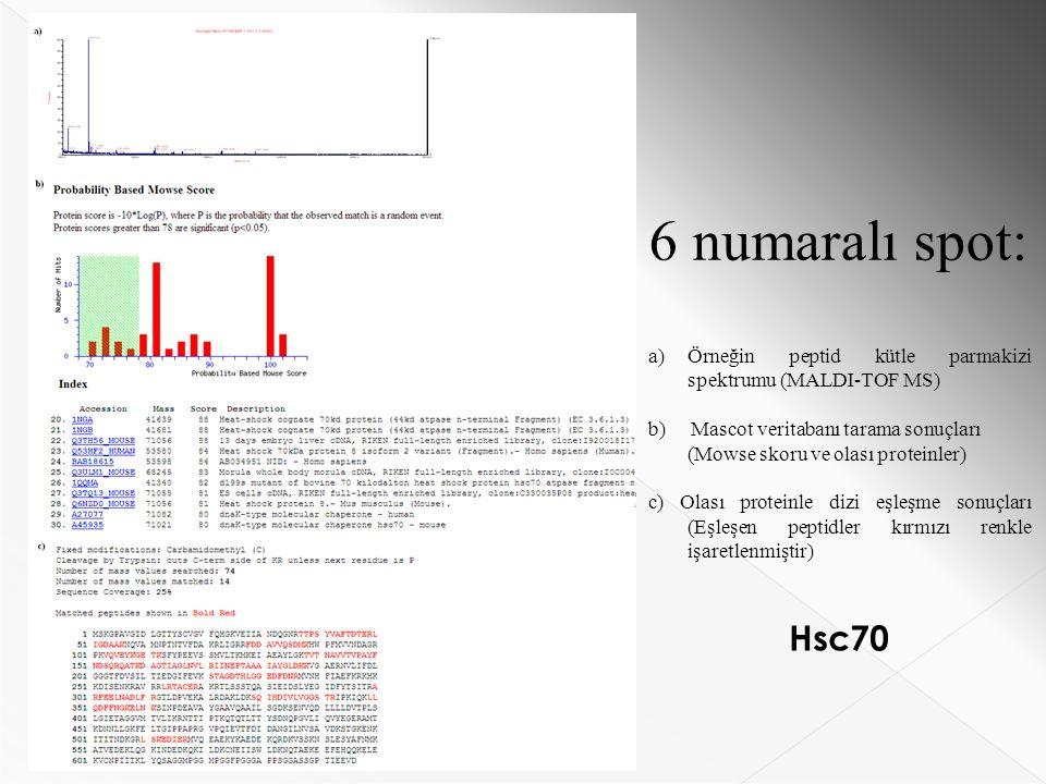 6 numaralı spot: a)Örneğin peptid kütle parmakizi spektrumu (MALDI-TOF MS) b) Mascot veritabanı tarama sonuçları (Mowse skoru ve olası proteinler) c) Olası proteinle dizi eşleşme sonuçları (Eşleşen peptidler kırmızı renkle işaretlenmiştir) Hsc70