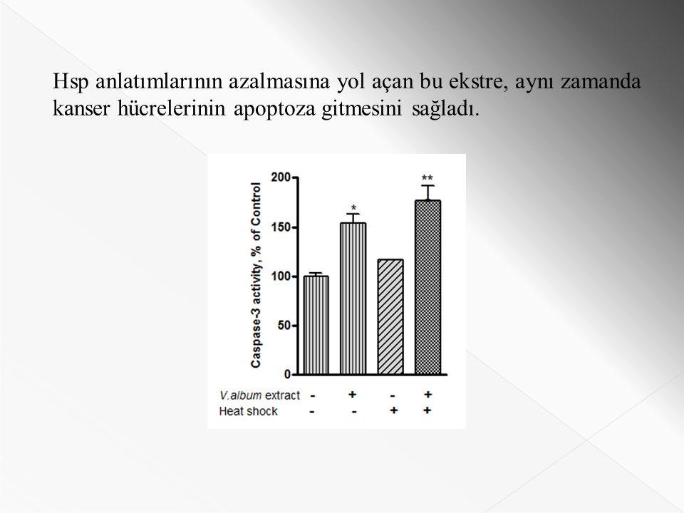 Hsp anlatımlarının azalmasına yol açan bu ekstre, aynı zamanda kanser hücrelerinin apoptoza gitmesini sağladı.