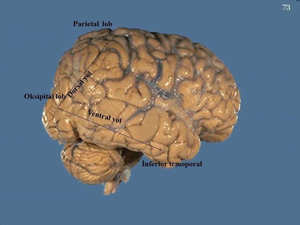 Parietal lob Oksipital lob İnferior temoporal Dorsal yol Ventral yol 73