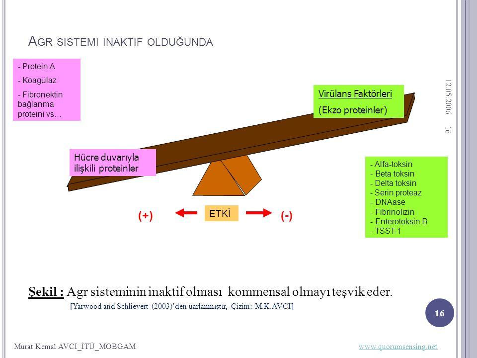 12.05.2006 16 A GR SISTEMI INAKTIF OLDUĞUNDA Şekil : Agr sisteminin inaktif olması kommensal olmayı teşvik eder.
