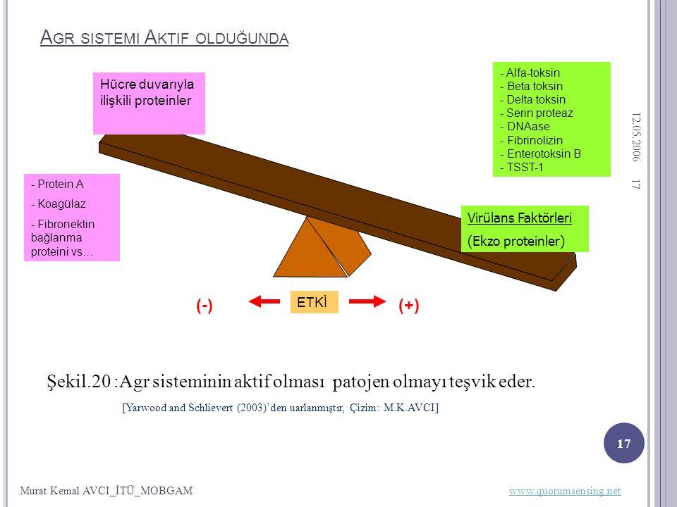 12.05.2006 17 A GR SISTEMI A KTIF OLDUĞUNDA Şekil.20 :Agr sisteminin aktif olması patojen olmayı teşvik eder.