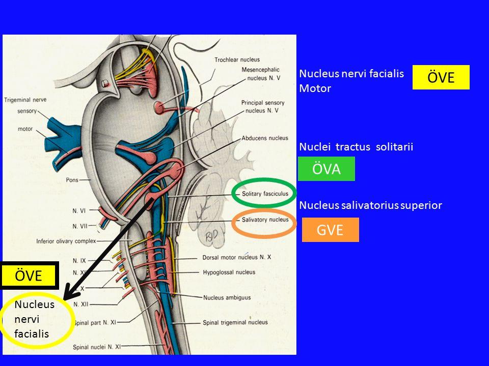 Nucleus nervi facialis Nucleus nervi facialis Motor Nuclei tractus solitarii Nucleus salivatorius superior ÖVA GVE ÖVE