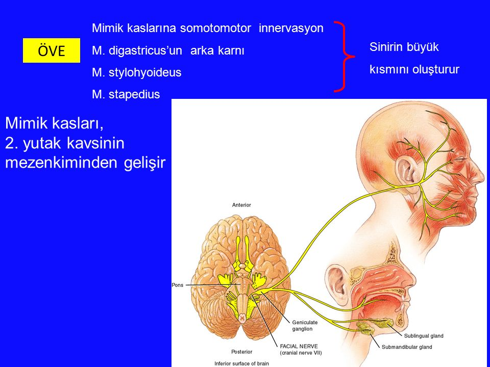 Mimik kaslarına somotomotor innervasyon M. digastricus'un arka karnı M. stylohyoideus M. stapedius ÖVE Sinirin büyük kısmını oluşturur Mimik kasları,