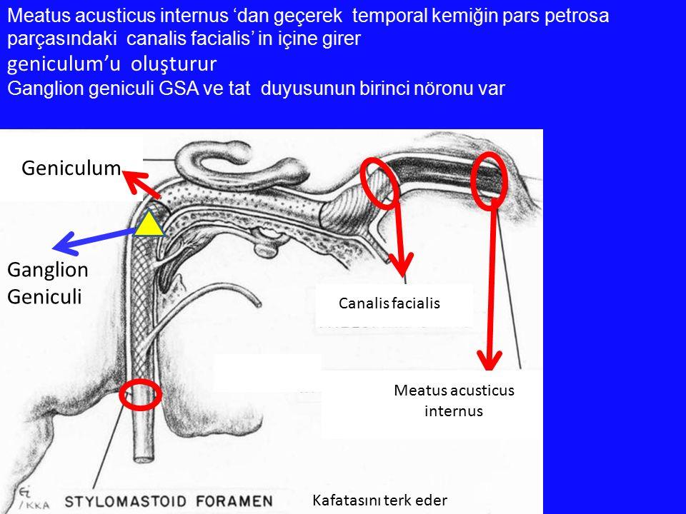 Meatus acusticus internus 'dan geçerek temporal kemiğin pars petrosa parçasındaki canalis facialis' in içine girer geniculum'u oluşturur Ganglion geni
