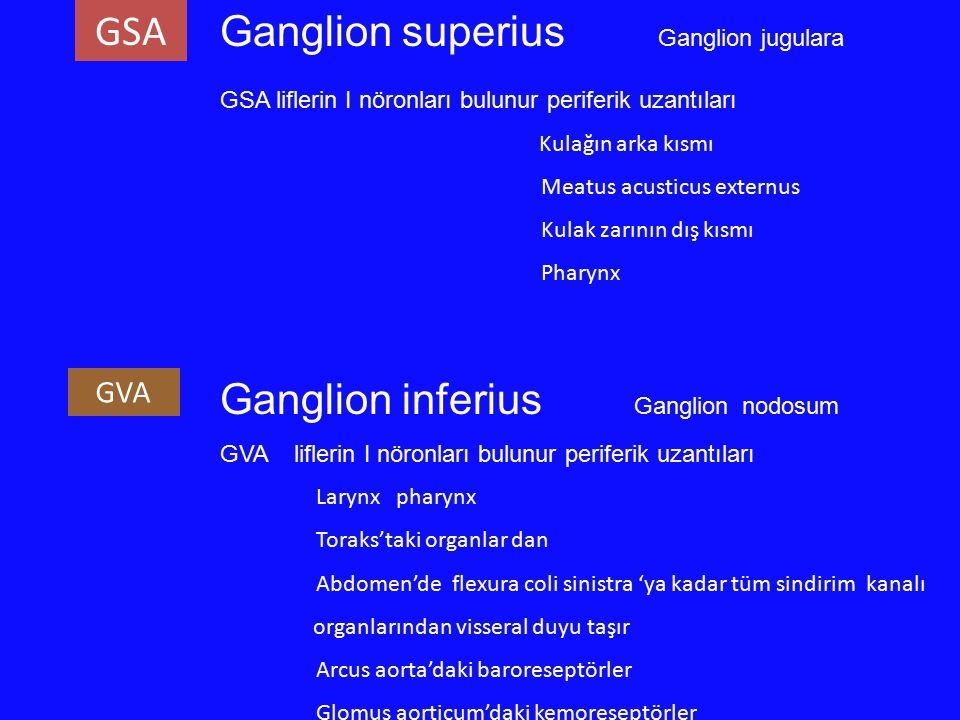 Ganglion superius Ganglion jugulara GSA liflerin I nöronları bulunur periferik uzantıları Kulağın arka kısmı Meatus acusticus externus Kulak zarının d