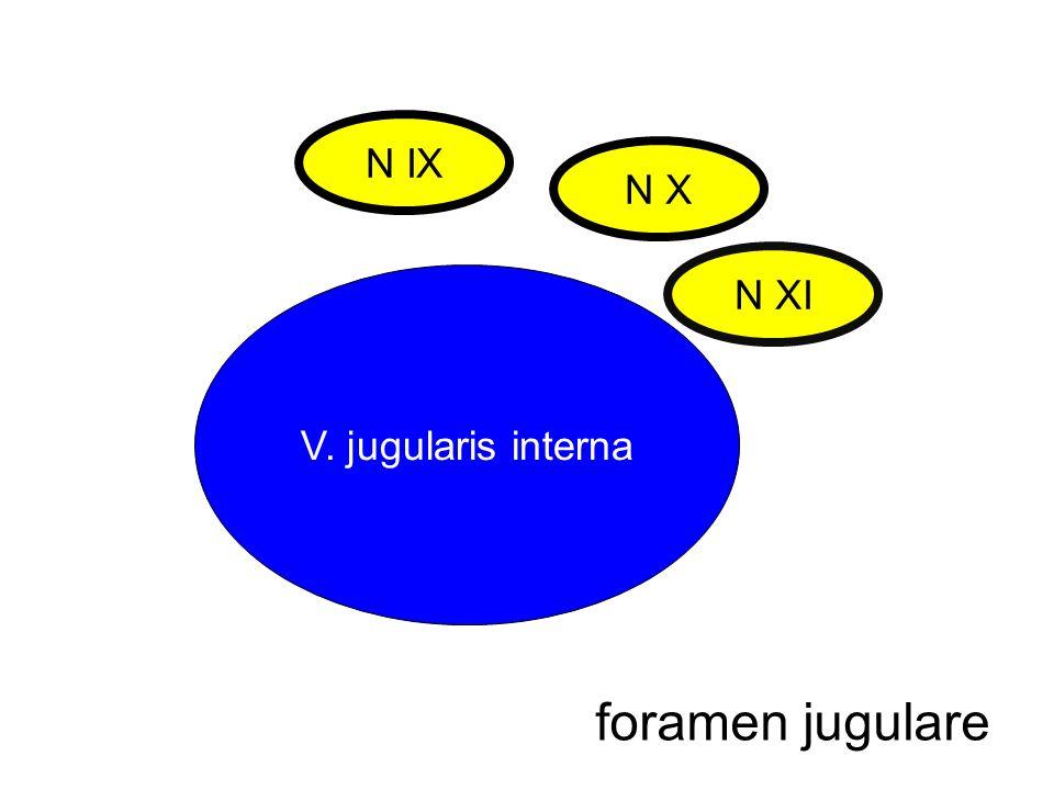 V. jugularis interna N IX N X N XI foramen jugulare