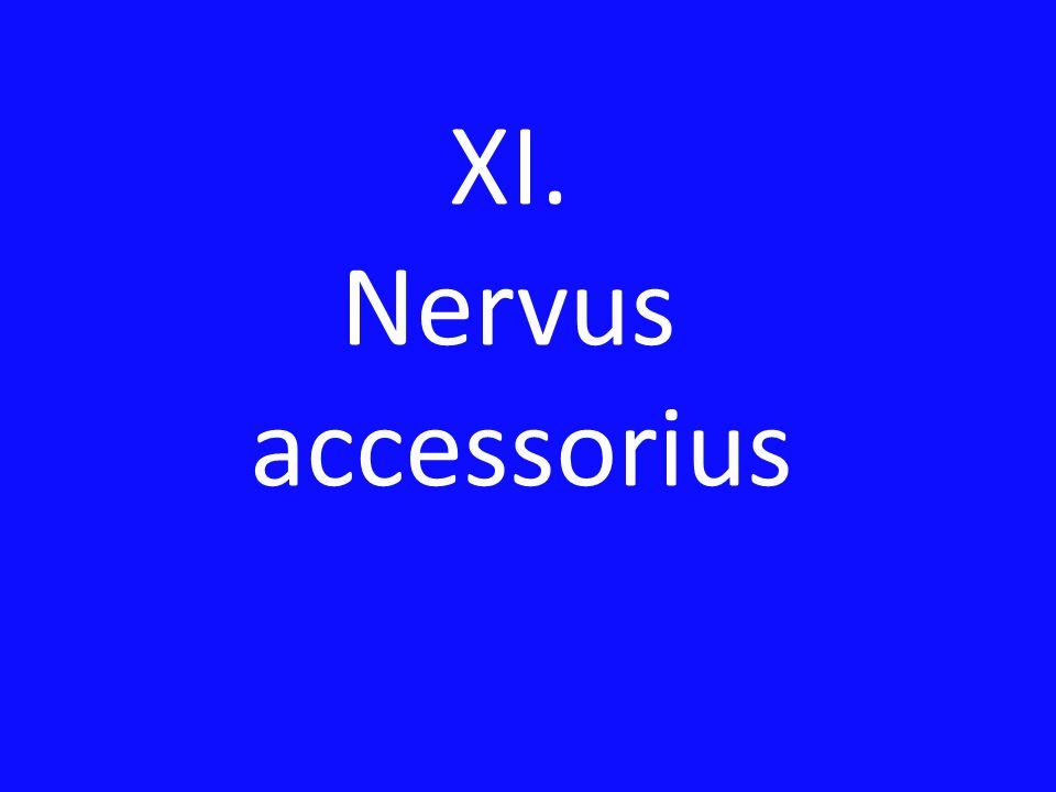 XI. Nervus accessorius
