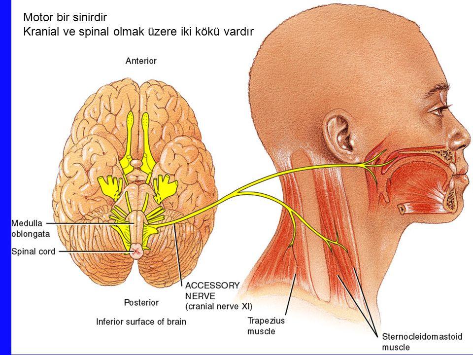 Motor bir sinirdir Kranial ve spinal olmak üzere iki kökü vardır