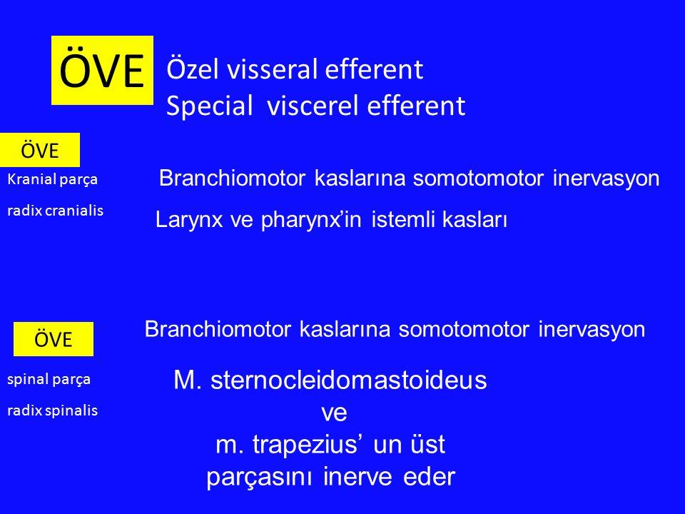 Özel visseral efferent Special viscerel efferent M. sternocleidomastoideus ve m. trapezius' un üst parçasını inerve eder ÖVE Branchiomotor kaslarına s