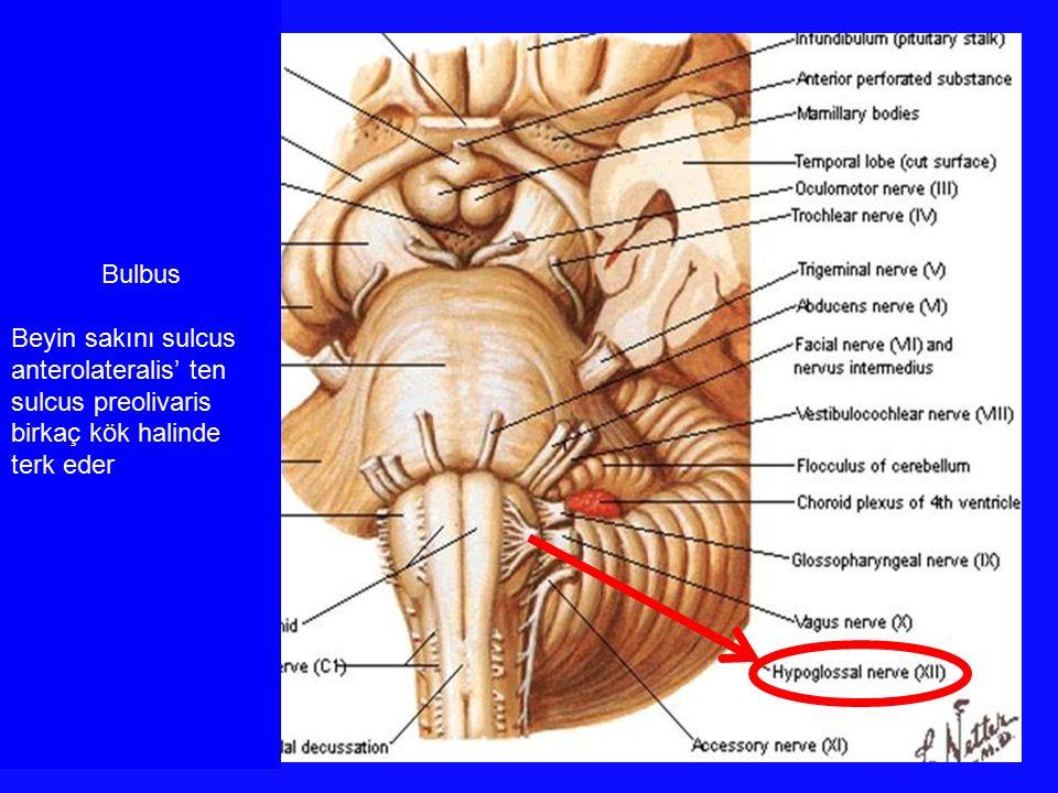 Bulbus Beyin sakını sulcus anterolateralis' ten sulcus preolivaris birkaç kök halinde terk eder