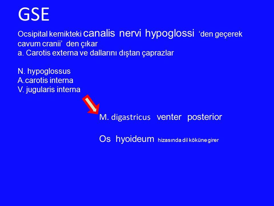 GSE Ocsipital kemikteki canalis nervi hypoglossi 'den geçerek cavum cranii' den çıkar a. Carotis externa ve dallarını dıştan çaprazlar N. hypoglossus