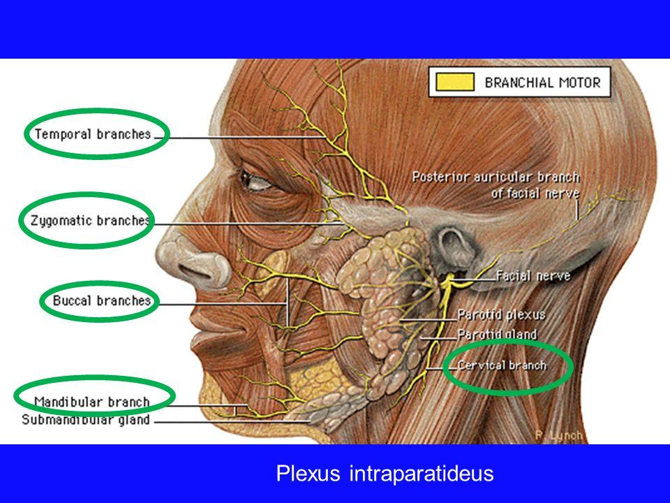 Plexus intraparatideus