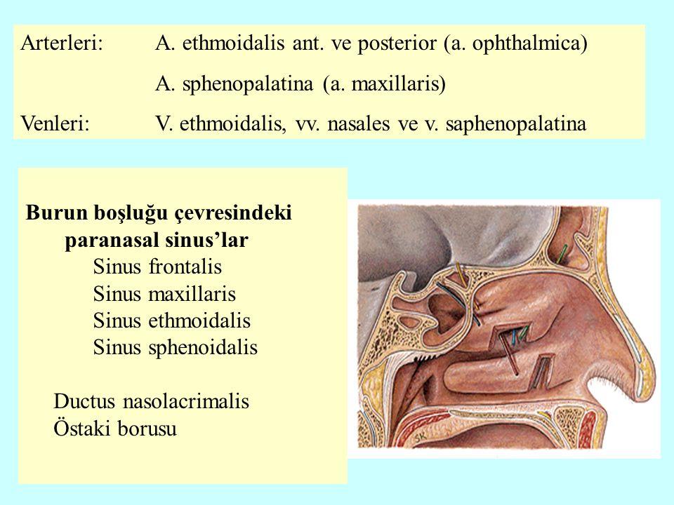 Burun boşluğu çevresindeki paranasal sinus'lar Sinus frontalis Sinus maxillaris Sinus ethmoidalis Sinus sphenoidalis Ductus nasolacrimalis Östaki borusu Arterleri: A.