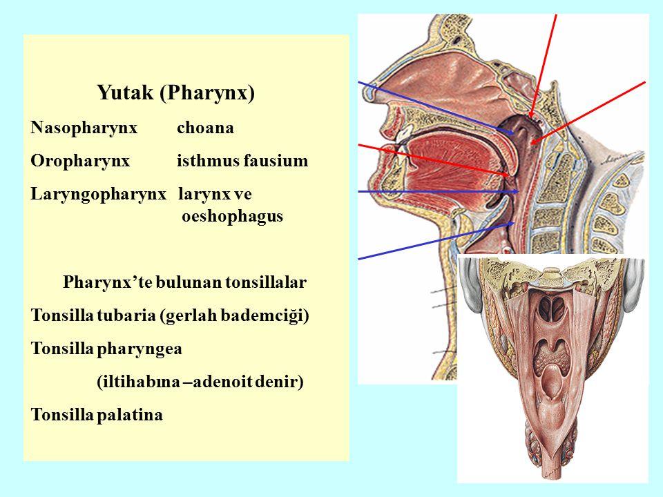 Yutak (Pharynx) Nasopharynx choana Oropharynx isthmus fausium Laryngopharynx larynx ve oeshophagus Pharynx'te bulunan tonsillalar Tonsilla tubaria (gerlah bademciği) Tonsilla pharyngea (iltihabına –adenoit denir) Tonsilla palatina