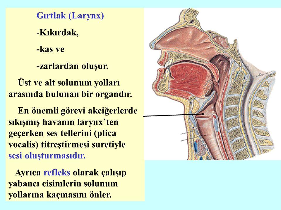 Gırtlak (Larynx) -Kıkırdak, -kas ve -zarlardan oluşur.