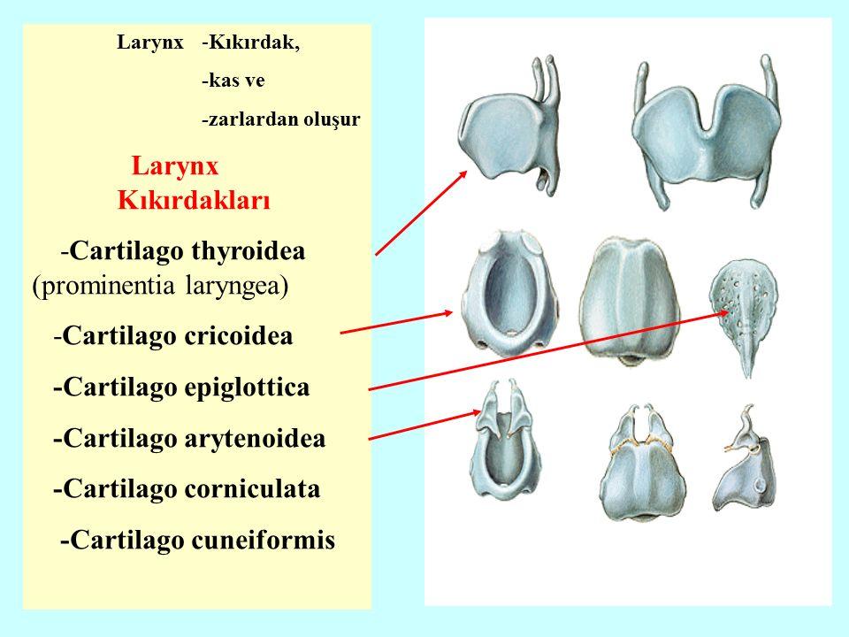 Larynx-Kıkırdak, -kas ve -zarlardan oluşur Larynx Kıkırdakları -Cartilago thyroidea (prominentia laryngea) -Cartilago cricoidea -Cartilago epiglottica -Cartilago arytenoidea -Cartilago corniculata -Cartilago cuneiformis