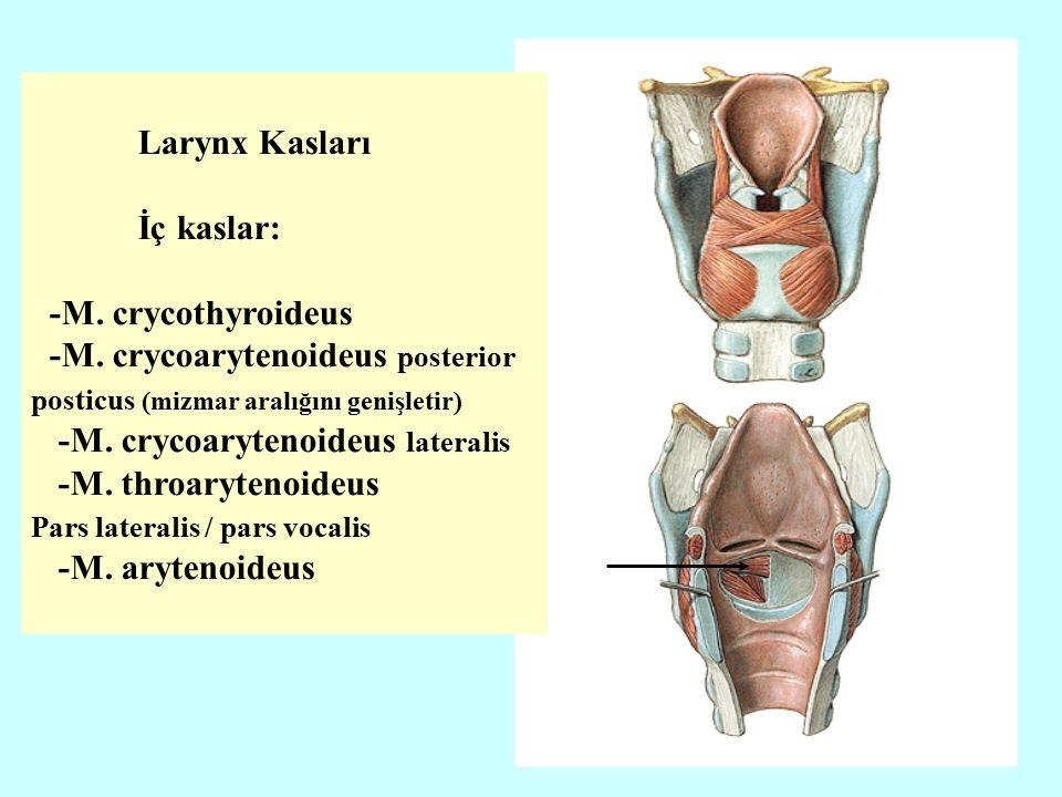 Larynx Kasları İç kaslar: -M. crycothyroideus -M.