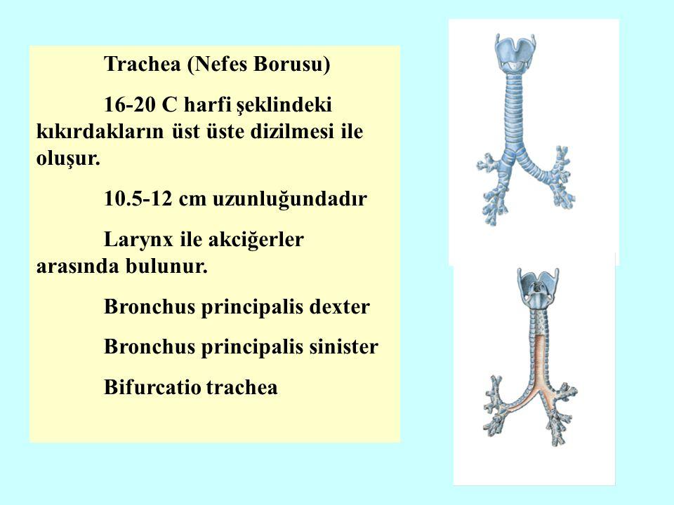 Trachea (Nefes Borusu) 16-20 C harfi şeklindeki kıkırdakların üst üste dizilmesi ile oluşur.