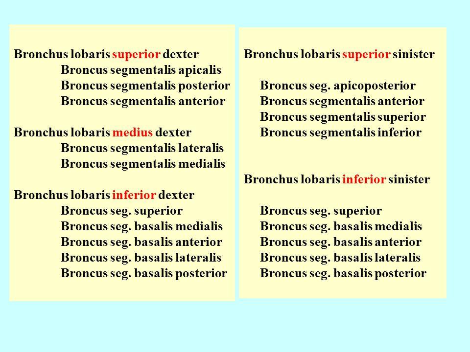 Bronchus lobaris superior dexter Broncus segmentalis apicalis Broncus segmentalis posterior Broncus segmentalis anterior Bronchus lobaris medius dexter Broncus segmentalis lateralis Broncus segmentalis medialis Bronchus lobaris inferior dexter Broncus seg.