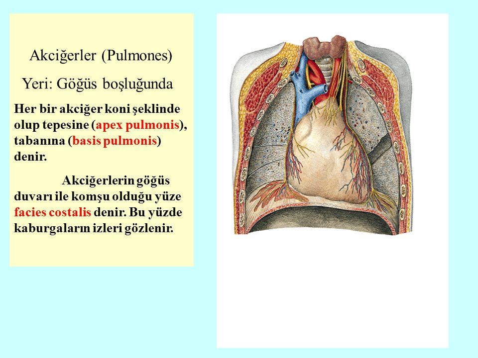 Akciğerler (Pulmones) Yeri: Göğüs boşluğunda Her bir akciğer koni şeklinde olup tepesine (apex pulmonis), tabanına (basis pulmonis) denir.