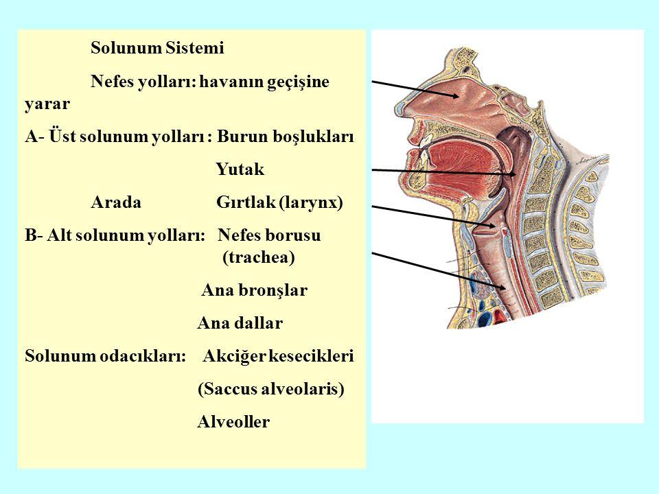 İki akciğerin birbirine bakan yüzüne facies mediastinalis denir.