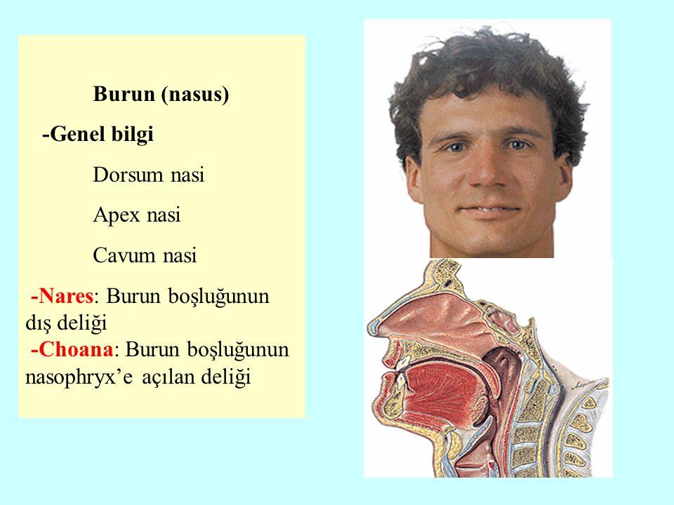 Burun (nasus) -Genel bilgi Dorsum nasi Apex nasi Cavum nasi -Nares: Burun boşluğunun dış deliği -Choana: Burun boşluğunun nasophryx'e açılan deliği