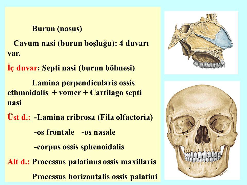 Dış Duvar Lamina medialis proc.pterygoideus Lamina perpendicularis proc.