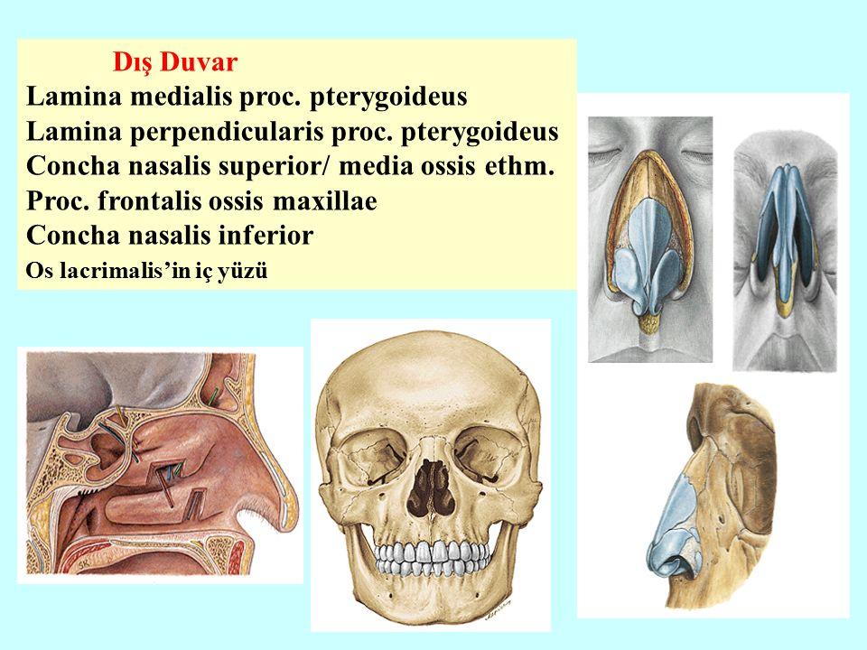 Dış Duvar Lamina medialis proc. pterygoideus Lamina perpendicularis proc.