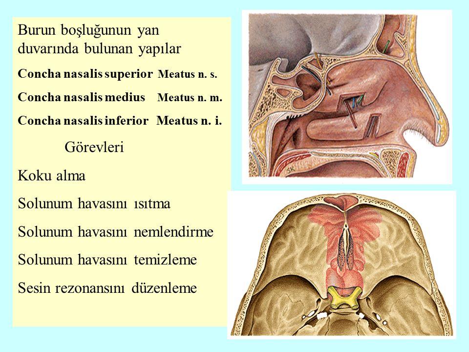 Bronchus principalis dexter: Sağ ana bronş 2.5 cm uzunluğunda olup 6-9 tane kıkırdak halka ihtiva eder -bronchus lobaris superior dexter -bronchus lobaris medius dexter -bronchus lobaris inferior dexter Bronchus principhalis sinister.