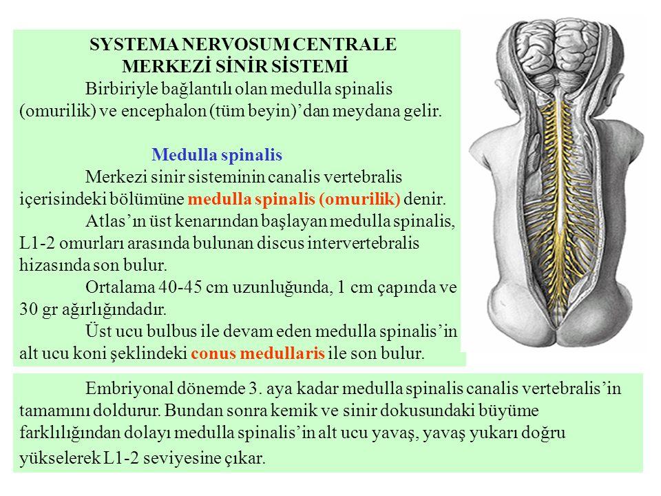 SYSTEMA NERVOSUM CENTRALE MERKEZİ SİNİR SİSTEMİ Birbiriyle bağlantılı olan medulla spinalis (omurilik) ve encephalon (tüm beyin)'dan meydana gelir. Me