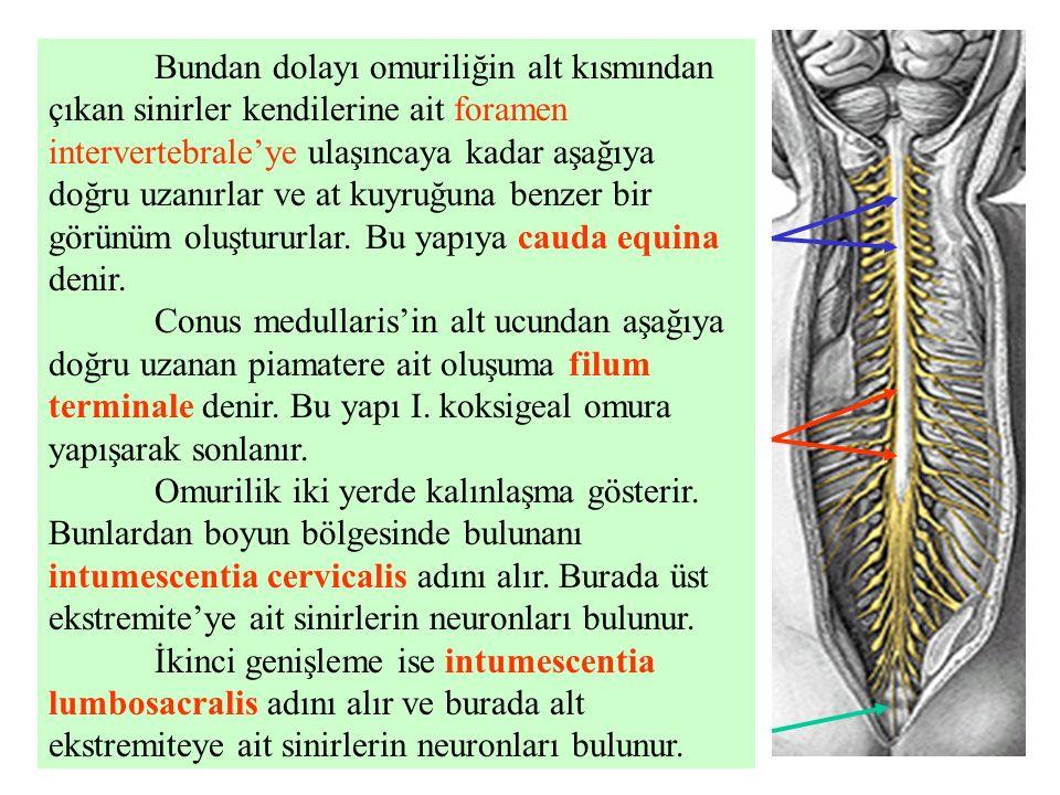 Bundan dolayı omuriliğin alt kısmından çıkan sinirler kendilerine ait foramen intervertebrale'ye ulaşıncaya kadar aşağıya doğru uzanırlar ve at kuyruğuna benzer bir görünüm oluştururlar.