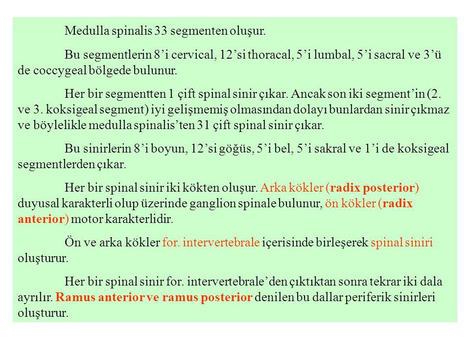 Medulla spinalis 33 segmenten oluşur.