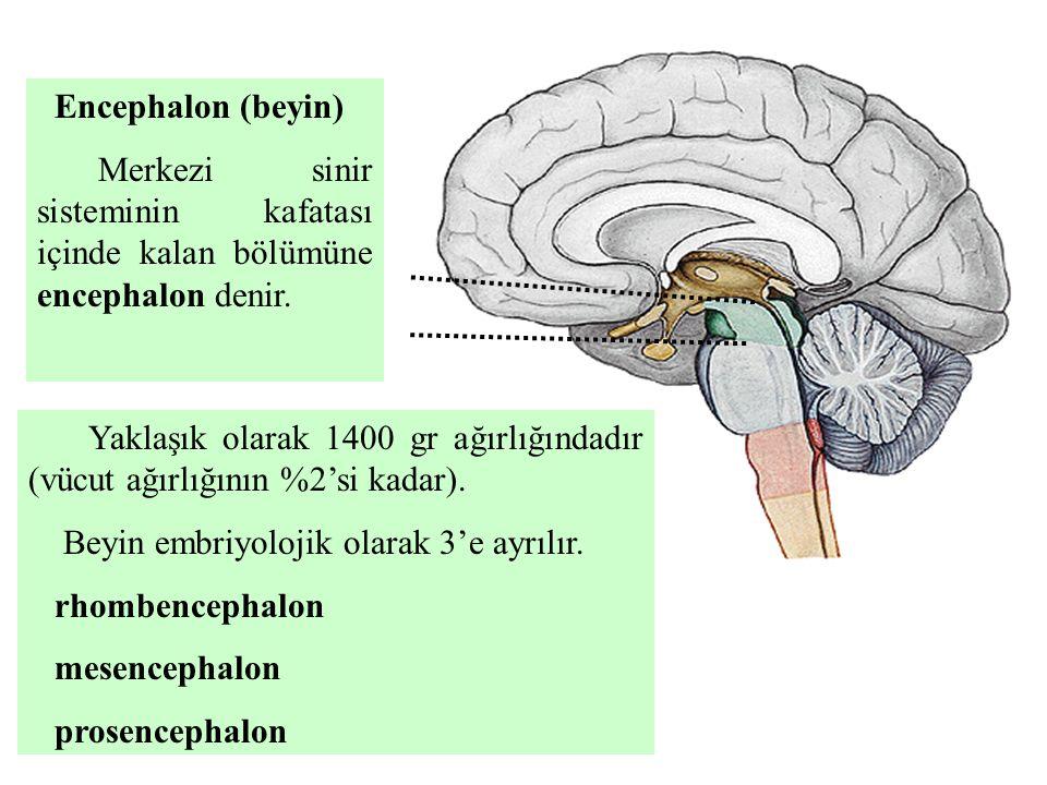 Encephalon (beyin) Merkezi sinir sisteminin kafatası içinde kalan bölümüne encephalon denir. Yaklaşık olarak 1400 gr ağırlığındadır (vücut ağırlığının