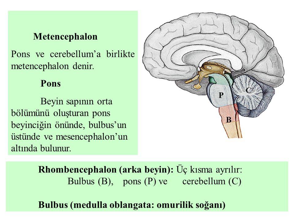 Metencephalon Pons ve cerebellum'a birlikte metencephalon denir. Pons Beyin sapının orta bölümünü oluşturan pons beyinciğin önünde, bulbus'un üstünde