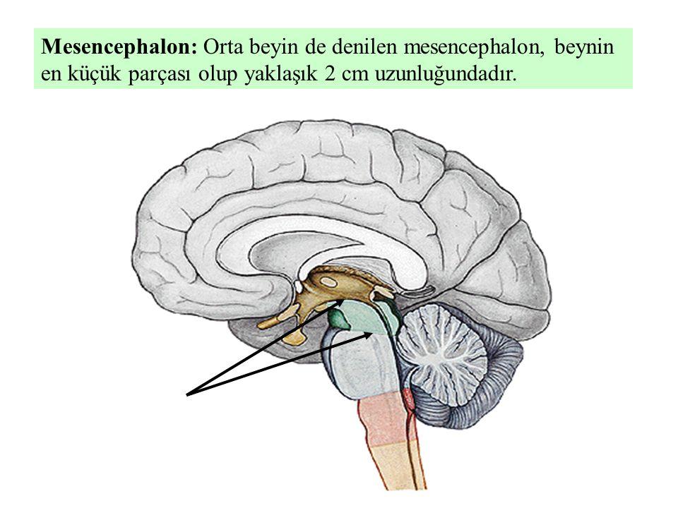 Mesencephalon: Orta beyin de denilen mesencephalon, beynin en küçük parçası olup yaklaşık 2 cm uzunluğundadır.