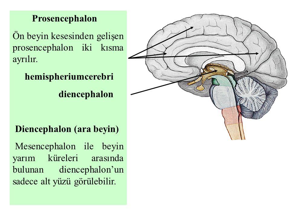 Prosencephalon Ön beyin kesesinden gelişen prosencephalon iki kısma ayrılır. hemispheriumcerebri diencephalon Diencephalon (ara beyin) Mesencephalon i