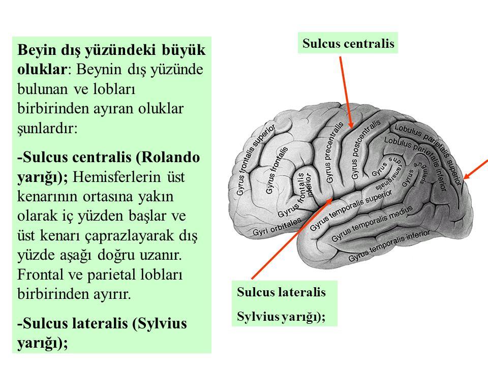 Beyin dış yüzündeki büyük oluklar: Beynin dış yüzünde bulunan ve lobları birbirinden ayıran oluklar şunlardır: -Sulcus centralis (Rolando yarığı); Hemisferlerin üst kenarının ortasına yakın olarak iç yüzden başlar ve üst kenarı çaprazlayarak dış yüzde aşağı doğru uzanır.