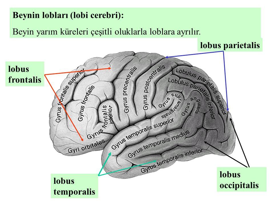 Beynin lobları (lobi cerebri): Beyin yarım küreleri çeşitli oluklarla loblara ayrılır. lobus frontalis lobus parietalis lobus temporalis lobus occipit
