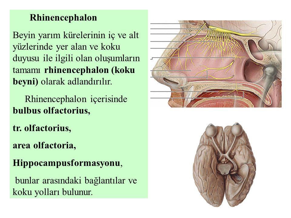 Rhinencephalon Beyin yarım kürelerinin iç ve alt yüzlerinde yer alan ve koku duyusu ile ilgili olan oluşumların tamamı rhinencephalon (koku beyni) ola