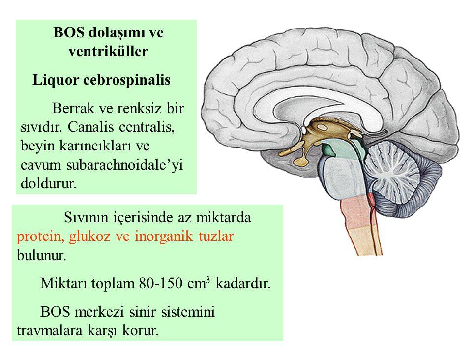 BOS dolaşımı ve ventriküller Liquor cebrospinalis Berrak ve renksiz bir sıvıdır. Canalis centralis, beyin karıncıkları ve cavum subarachnoidale'yi dol
