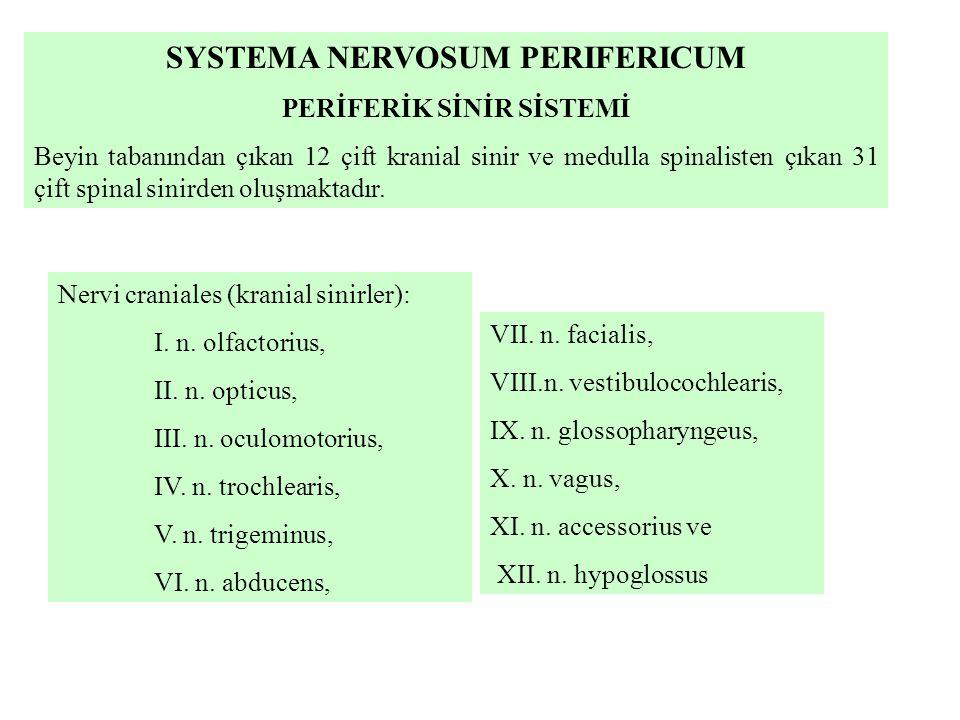 SYSTEMA NERVOSUM PERIFERICUM PERİFERİK SİNİR SİSTEMİ Beyin tabanından çıkan 12 çift kranial sinir ve medulla spinalisten çıkan 31 çift spinal sinirden oluşmaktadır.