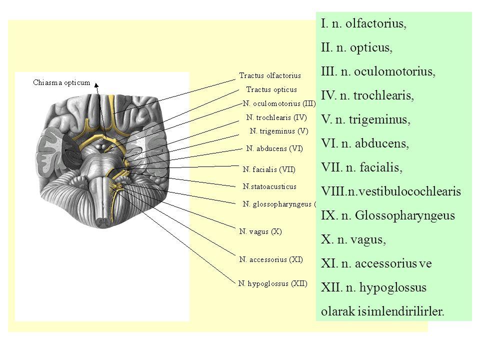 I. n. olfactorius, II. n. opticus, III. n. oculomotorius, IV. n. trochlearis, V. n. trigeminus, VI. n. abducens, VII. n. facialis, VIII.n.vestibulococ