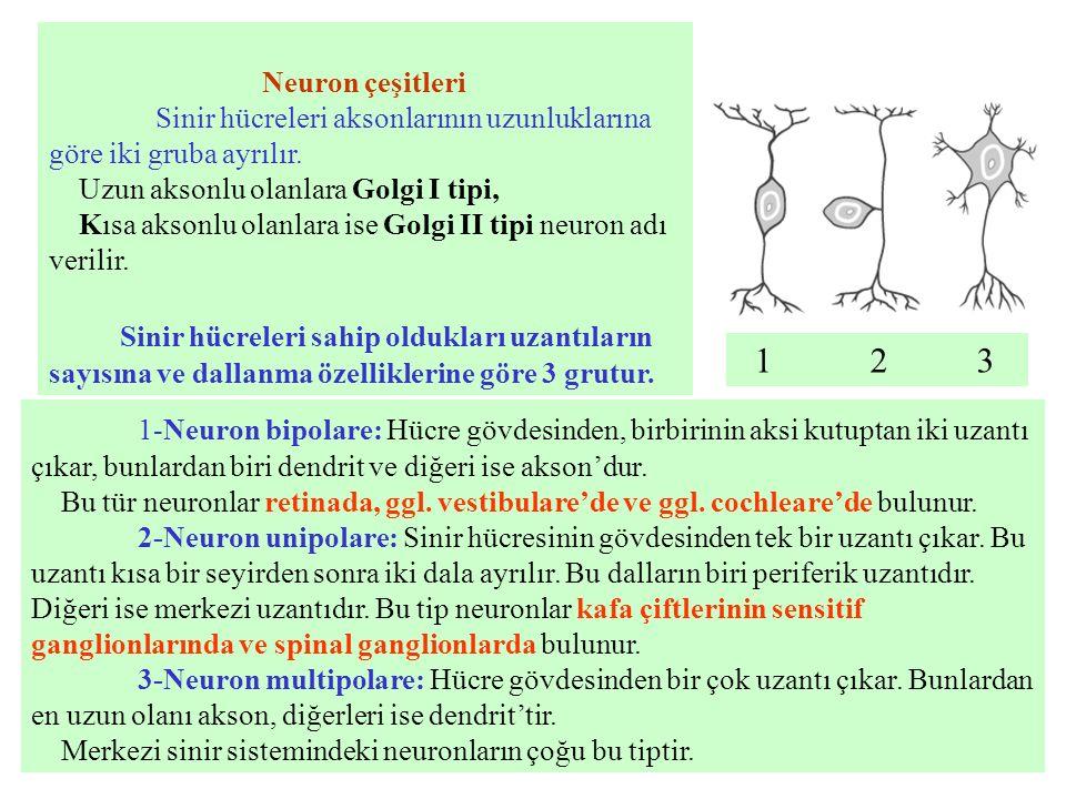 Neuron çeşitleri Sinir hücreleri aksonlarının uzunluklarına göre iki gruba ayrılır. Uzun aksonlu olanlara Golgi I tipi, Kısa aksonlu olanlara ise Golg